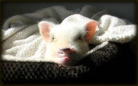 mini pig sleeping habits life with a mini pig