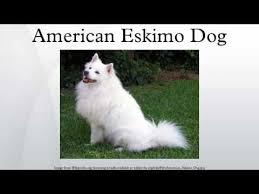 pics of american eskimo dogs american eskimo dog youtube