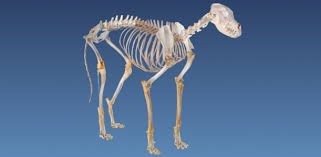 Dog Anatomy Heart Museum Highlights Ovam
