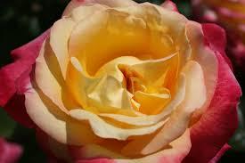 bright spirit corporate roses