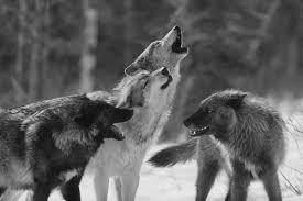 imagenes sorprendentes de lobos los lobos animales sorprendentes imágenes taringa