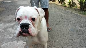 american pitbull terrier in india boxer vs indian street dog roadesian youtube
