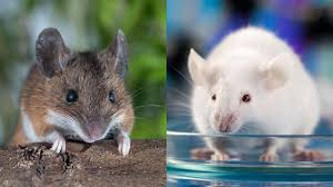 can u0027dirty mice u0027 save animal research science aaas