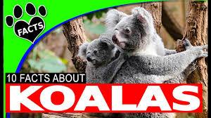 koala fun facts kids australian animals animal facts
