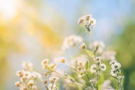 imagenes flores relajantes primer abstracto de las flores del verano de la puesta del sol la