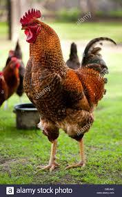 rhode island red chicken posing portrait stock photo royalty