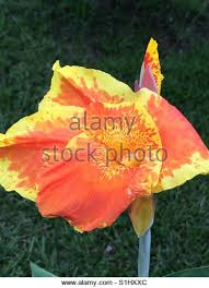Cana Lilly Cana Lilly Stock Photos U0026 Cana Lilly Stock Images Alamy