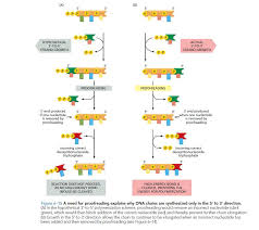 why is dna replication performed in the 5 u0027 to 3 u0027 direction