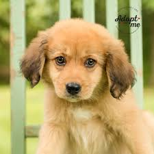 rescue an australian shepherd puppy brantley male australian shepherd puppy adoptable pets in ohio