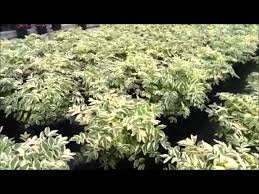 Fragrant Plants For Shade - best perennials for shade variegated jacob u0027s ladder polemonium
