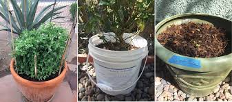 Container Gardening Peas - native seeds search tips for container gardening