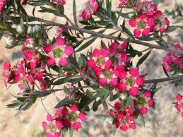 tea tree leptospermum rudolph