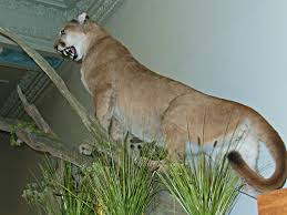 Iowa wild animals images Mountain lion sightings in central iowa believed to actually be a jpg
