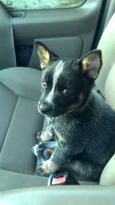 484 best australian cattle dogs and suki images on pinterest