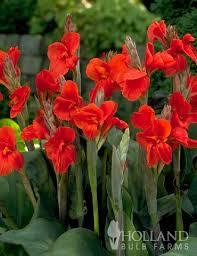Canna Lilies The President Canna