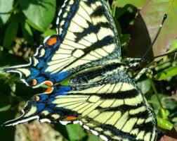 tiger butterfly etsy