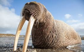 how the faa is doing its part to save walruses travel leisure