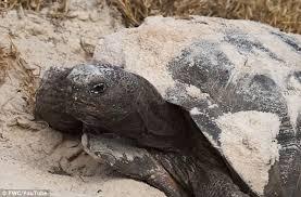 florida man facing jail after eating 15 rare tortoises and