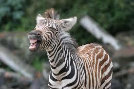 encyclopaedia of babies of beautiful wild animals the baby zebra