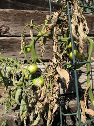 Plant Diseases With Pictures - tomato growing problems problems with tomato plants and fruit
