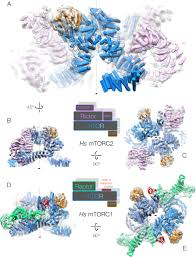 architecture of the human mtorc2 core complex elife