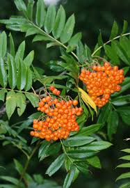 nw native plants cascade mountain ash sorbus scopulina blackfoot native plants