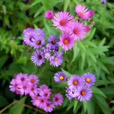 new england native plants native maine seeds for sale plant maine natives u2013 wild seed
