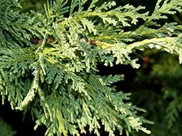 cedar pollen tips sneeze allergy cough centers