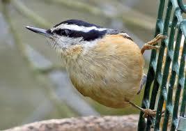 Living on earth birdnote winter birds love suet