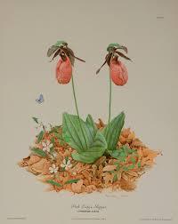 native minnesota plants oh not the orchids u2013 botany thoughts u2013 medium