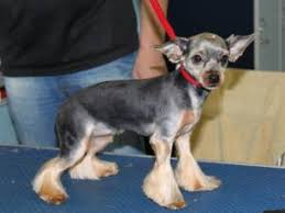 types of yorkie haircuts pictures yorkie haircuts for males and females 60 pictures yorkie life