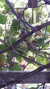 i am worried about the grape vines that grow up a pergola type
