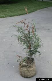 leyland cypress care u2013 tips for growing a leyland cypress tree