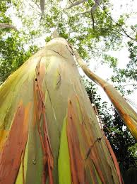 Rainbow Eucalyptus Nature Blows My Mind Rainbow Colored Trees Grow Over 200 Feet