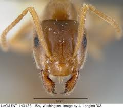 common evergreen ants