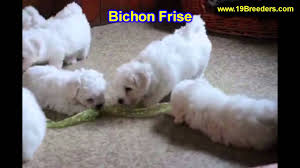 bichon frise breeders near me bichon frise puppies for sale in minneapolis minnesota mn