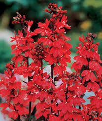 cardinal flower cardinal flower lobelia seeds and plants perennnial flowerss at