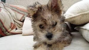 bichon frise vs yorkie bichon yorkie cross puppy youtube