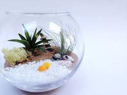 medium airplant terrarium fishbowl kit with 2 tillandsia