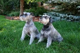 mini schnauzer haircut styles standard schnauzer dog breed appearance grooming
