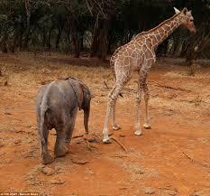 imagenes de amistad jirafas adorable elefante y jirafa huérfanos rescatados se convierten en