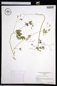 plants native to alabama chaerophyllum procumbens species page apa alabama plant atlas