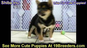 Albq Craigslist by Shiba Inu Puppies Dogs For Sale In Albuquerque New Mexico Nm
