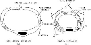 Blood Brain Barrier Anatomy The Blood Brain Barrier In Neuroinflammatory Diseases