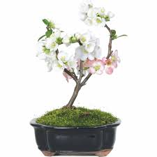 japanese flowering quince bonsai tree walmart