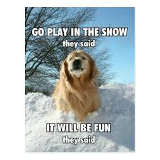 Golden Retriever Meme - funny golden retriever go play in the snow meme postcard zazzle com