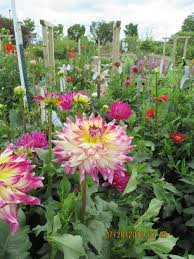 Idea Garden Dahlia Garden Master Gardener Association Of Tippecanoe County