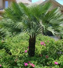 mediterranean fan palm tree plant of the week european fan palm landscape invocation