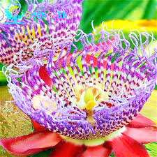 Fragrant Plants For Pots - aliexpress com buy 20 seeds passion fruit seeds passiflora