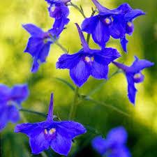delphinium flowers delphinium